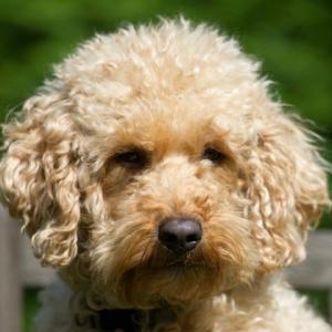 Sofie Orange Aussie Dogs Australian Labradoodle