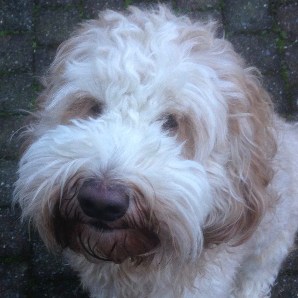 Bodhi Orange Aussie Dogs Australian Labradoodle