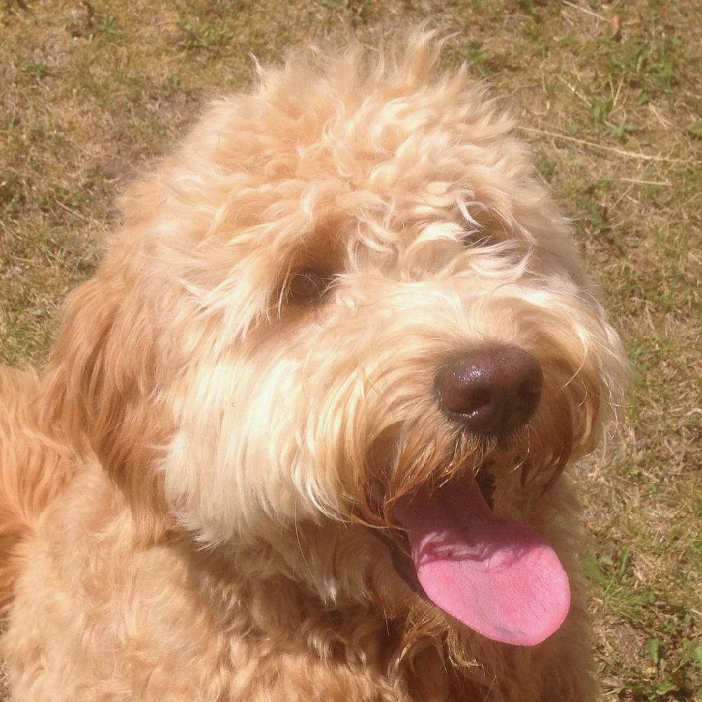 Daisy Orange Aussie Dogs Australian Labradoodle