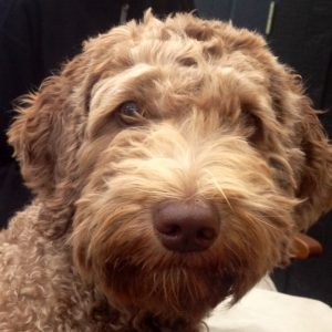 Millie Orange Aussie Dogs Australian Labradoodle