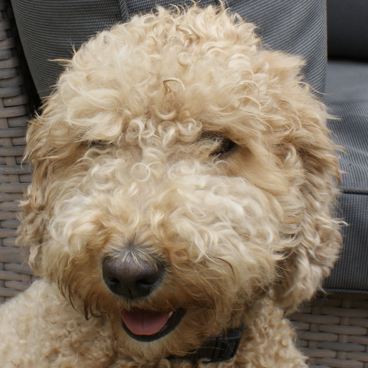 Lola Orange Aussie Dogs Australian Labradoodle
